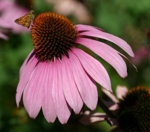 echinacea-purpurea-primadonna-m